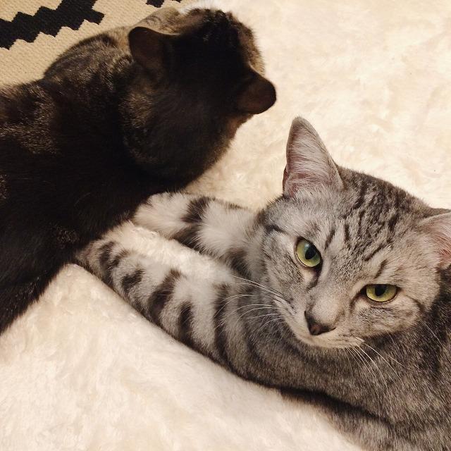 そのままの姿勢でこちらを見ているサバトラ猫。