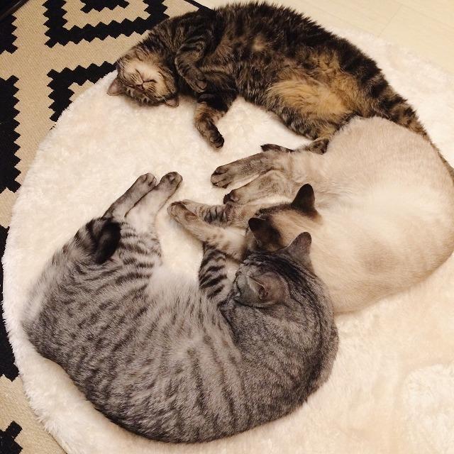 ストーブの前に仲良く並んで寝そべっているサバトラ猫、シャムトラ猫、キジトラ猫。