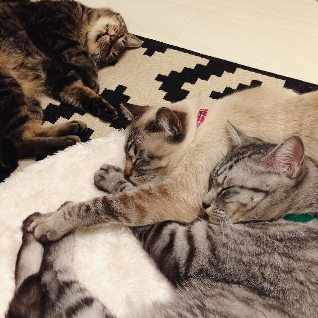 ラグの上に寝っ転がっているキジトラ猫、シャムトラ猫、サバトラ猫。