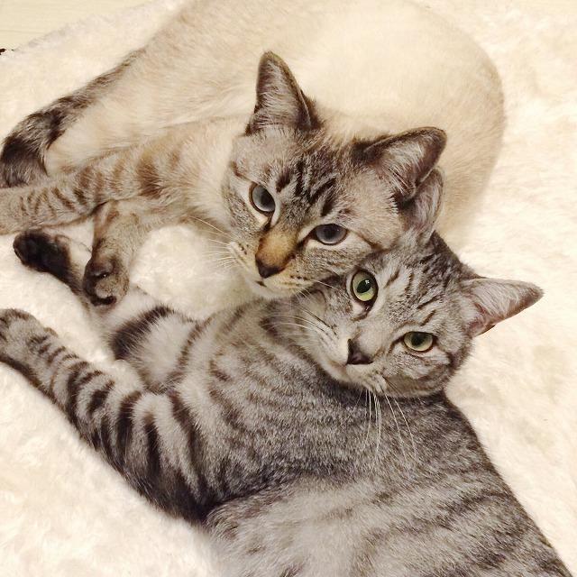 お互いにほっぺたをくっつけているシャムトラ猫とサバトラ猫がこちらを見上げている。