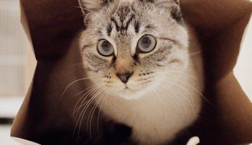 紙袋は最強の猫ホイホイ