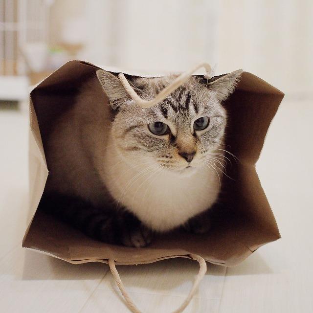 袋の紐が垂れてきて耳を倒すシャムトラ猫。