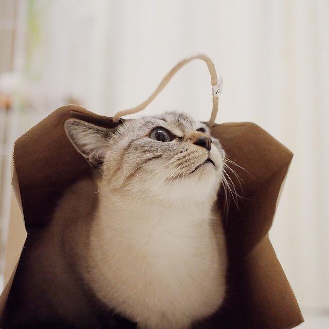 少し上を向いたシャムトラ猫。口元が可愛い。