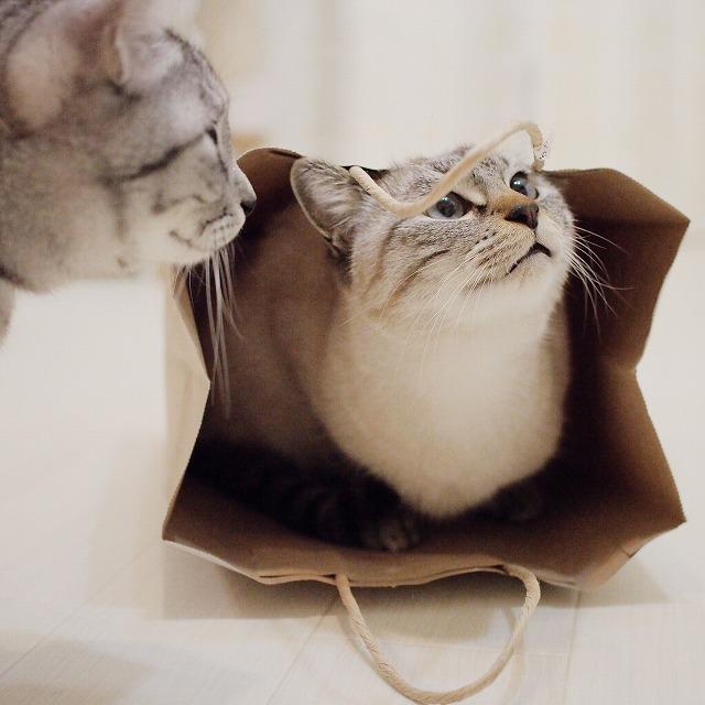 紙袋の紐を見ているシャムトラ猫。左端にサバトラ猫の横顔。