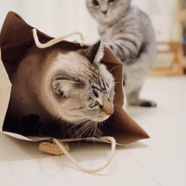 シャムトラ猫が入っている紙袋を後ろから攻撃するサバトラ猫。