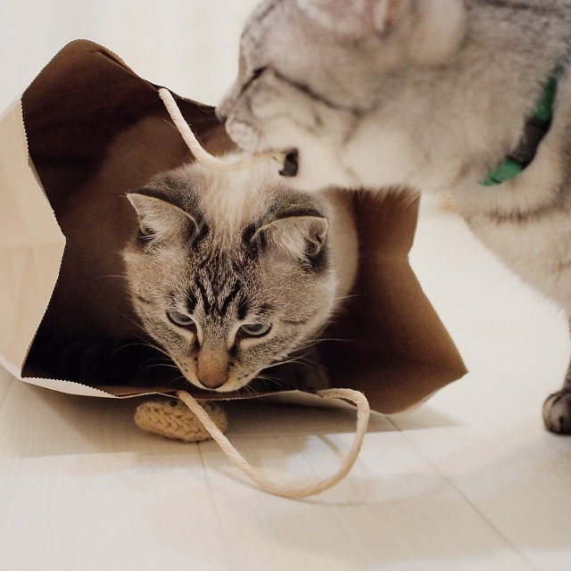 袋の紐に噛みつくサバトラ猫。