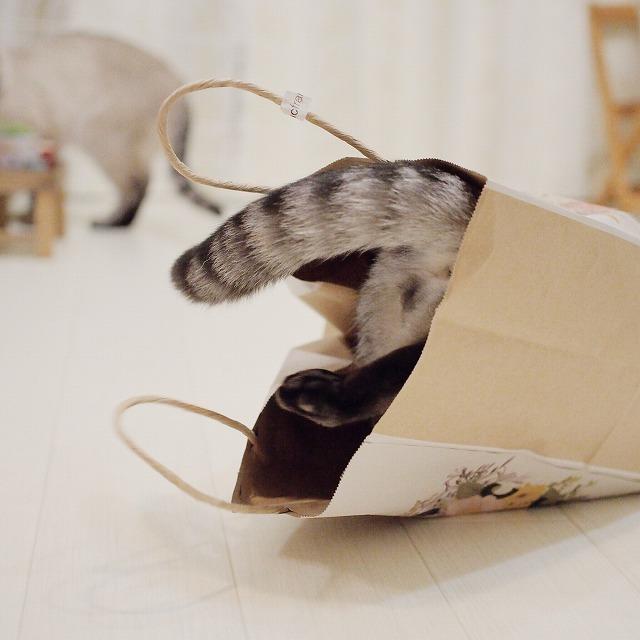 紙袋に飛び込んだサバトラ猫のしっぽ。