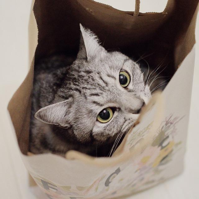 紙袋の中からこちらを見上げているサバトラ猫。