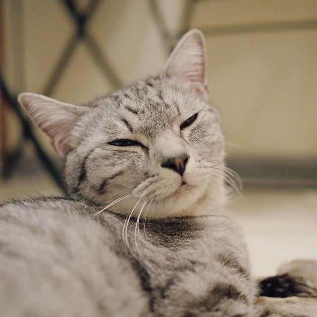 眠そうに目を細めているサバトラ猫の顔のアップ。