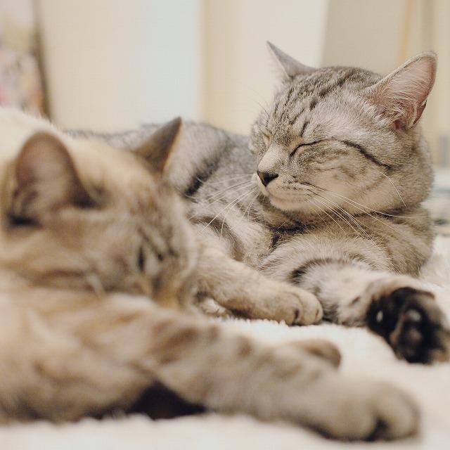 シャムトラ猫の隣に体を横たわらせるサバトラ猫。