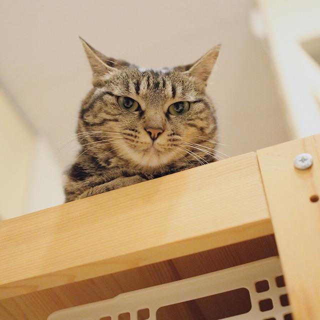 棚の上から弟猫たちを見つめるキジトラ猫。