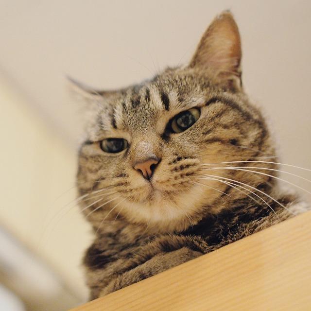 呆れたような顔で見下ろすキジトラ猫。