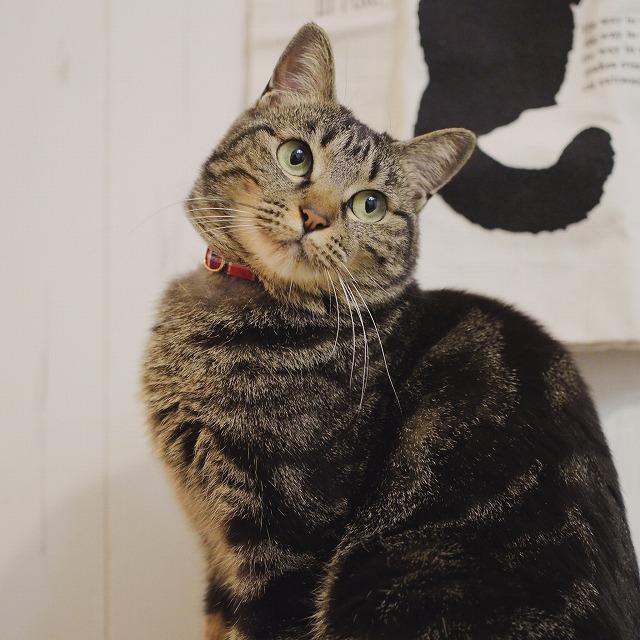 座って小首をかしげているキジトラ猫。体の模様はアメショ風です。