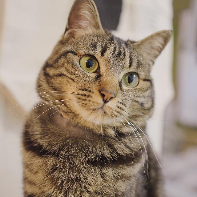 おまんじゅうのような形のキジトラ猫の顔のアップ。
