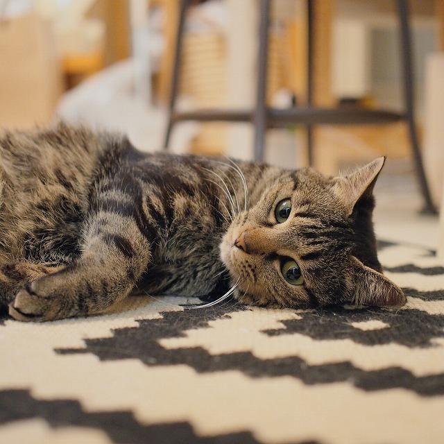 ラグの上で横になっているキジトラ猫。