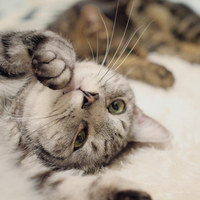 招き猫のポーズを愛らしくキメるサバトラ猫。