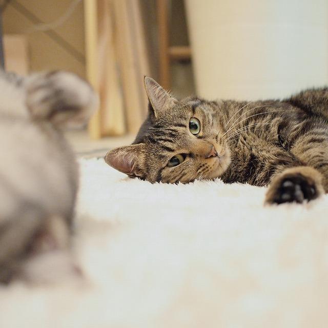 そんなサバトラ猫にクールな視線を送るキジトラ猫。