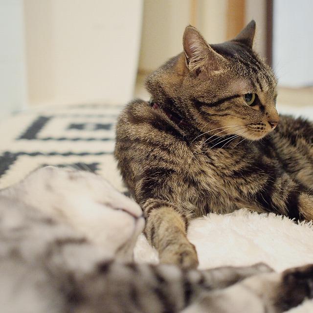 上半身を起こして寝そべっているキジトラ猫。