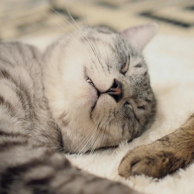 マヌケ顔で寝ているサバトラ猫の顔のアップ。口元から牙が少し見えています。