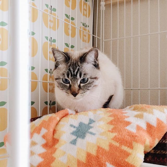 茶トラ猫が食事している様子をケージの中から見つめているシャムトラ猫。顔がこわいです。