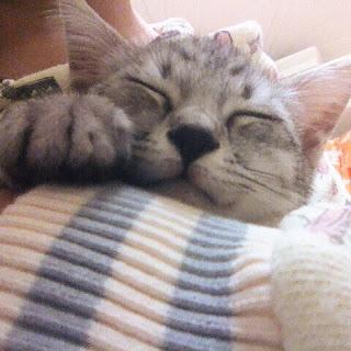 抱っこされてニッコリ笑顔のサバトラ子猫。