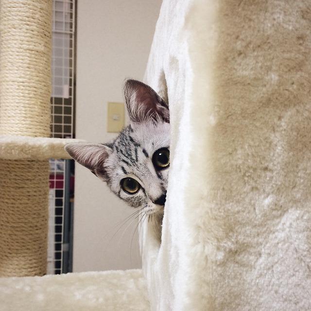 キャットタワーのハウスの中から顔を半分出してこちらを見ているサバトラ子猫。