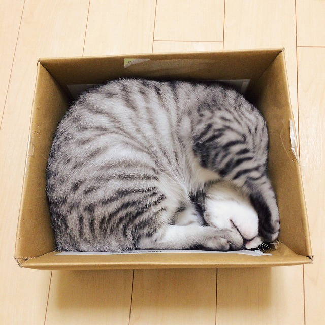 段ボール箱の中に丸まって収まっているサバトラ子猫。