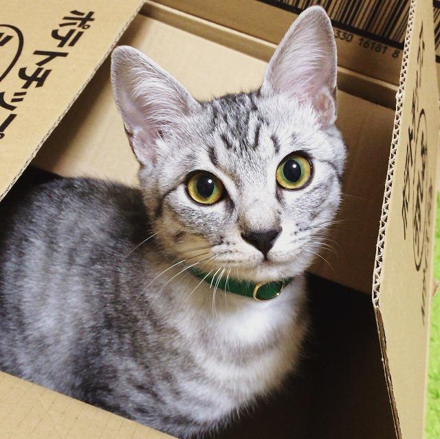 段ボール箱の中からこちらを見ているサバトラ子猫。顔立ちの整った美猫です。