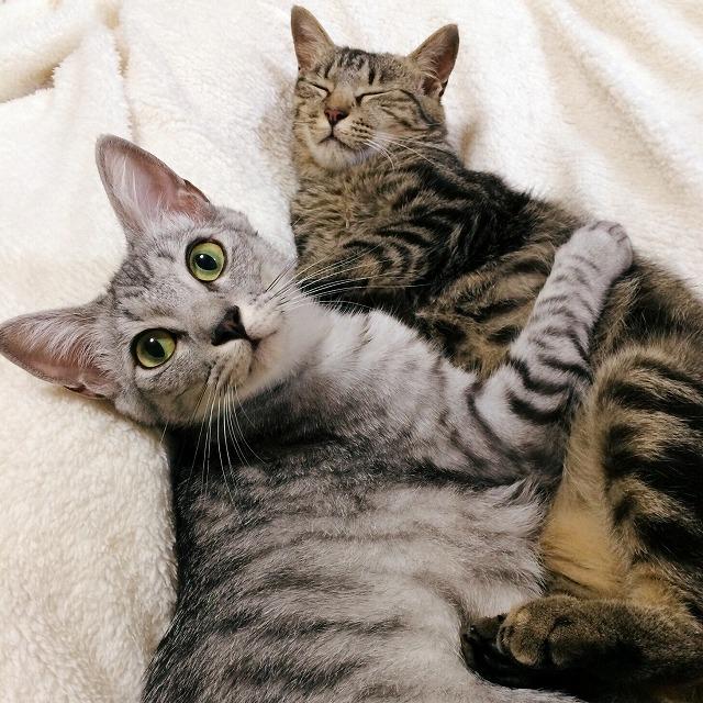 ふとんの上でキジトラ猫に抱きついているサバトラ猫。