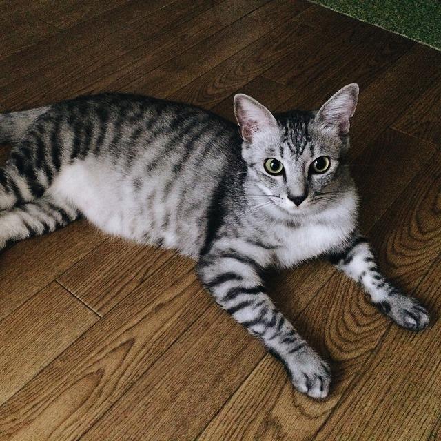 フローリングの上で横たわっているサバトラ猫。