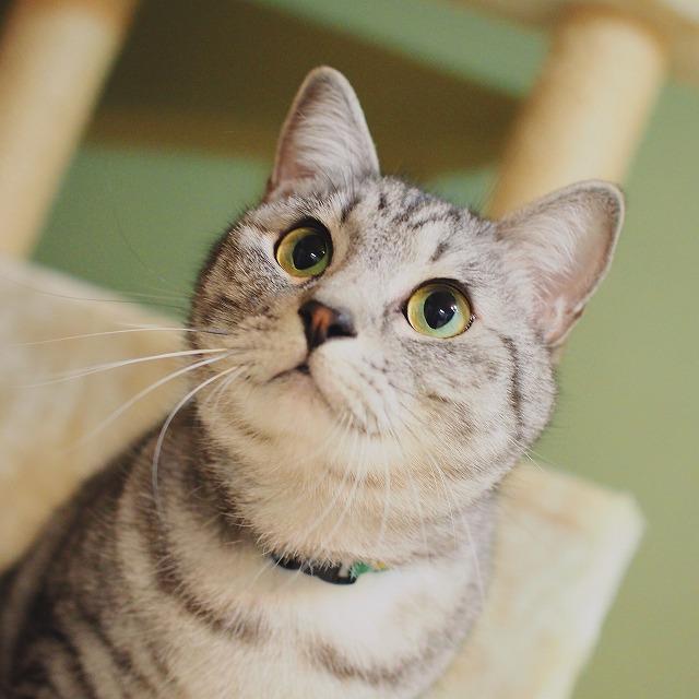 目を丸くしておもちゃを目で追っているサバトラ猫。