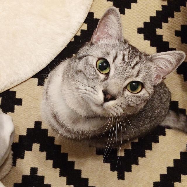 飼い主の足元に座ってこちらを見上げているサバトラ猫。