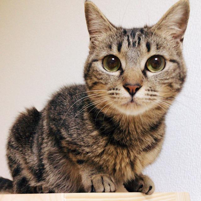 大きな丸い瞳でこちらを見ているキジトラ猫。