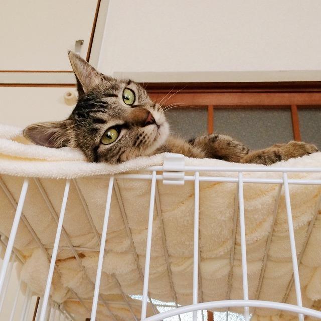 ケージの上に寝そべってこちらを見下ろしているキジトラ猫。メスなのにイケメン顔です。
