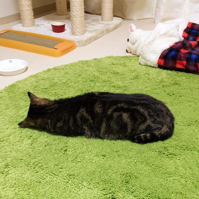 ツチノコのような形で寝ているキジトラ猫。