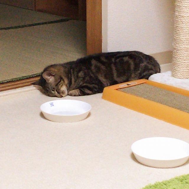 何もないところでうつぶせになって寝ているキジトラ猫。