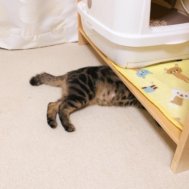 猫トイレを置いている棚の下の隙間に潜り込んで寝ているキジトラ猫の下半身。