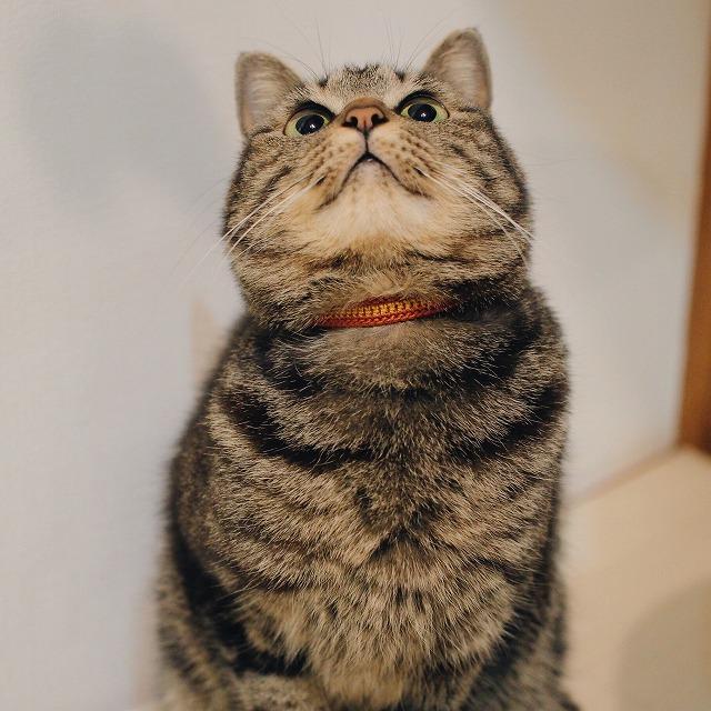 上を向いているキジトラ猫。