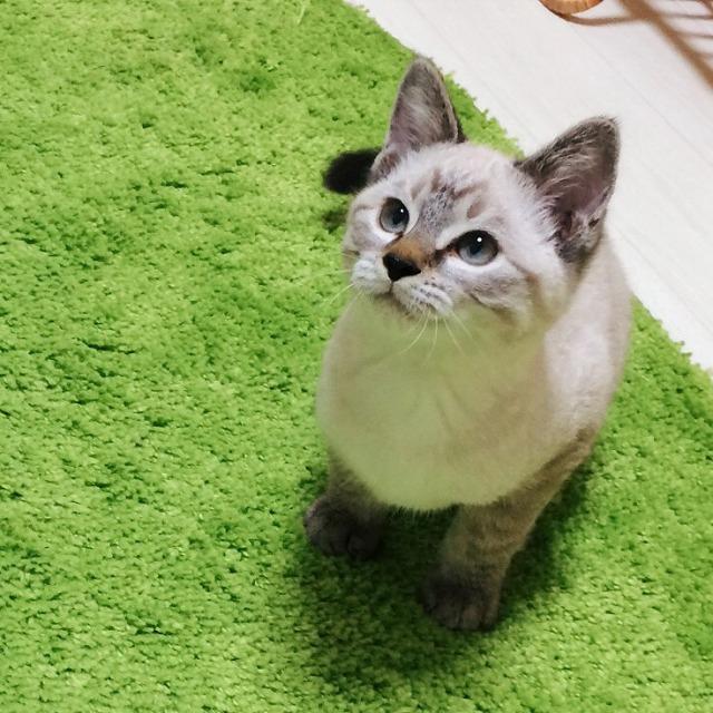 生後4ヶ月頃のシャムトラ子猫。子猫らしいコロコロした体型。