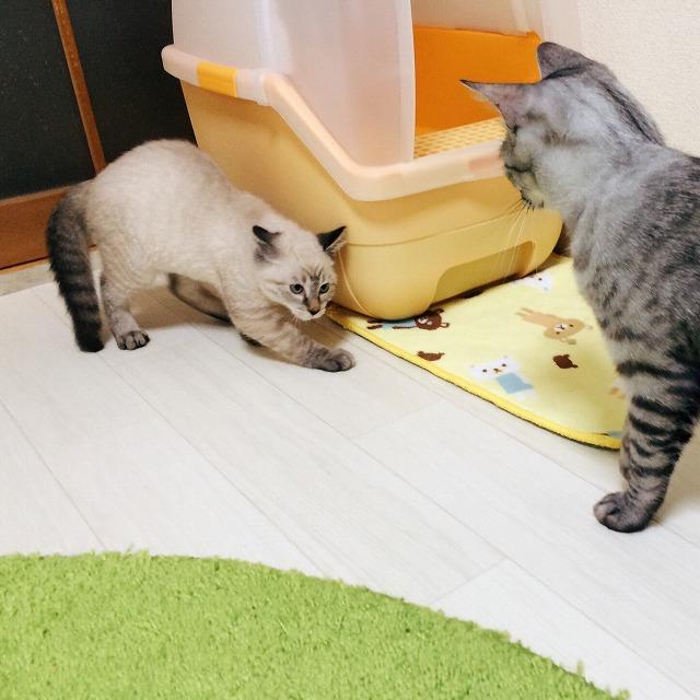 先住猫のサバトラ猫を威嚇するシャムトラ子猫。後ずさりしながら耳を倒し、しっぽを膨らませています。