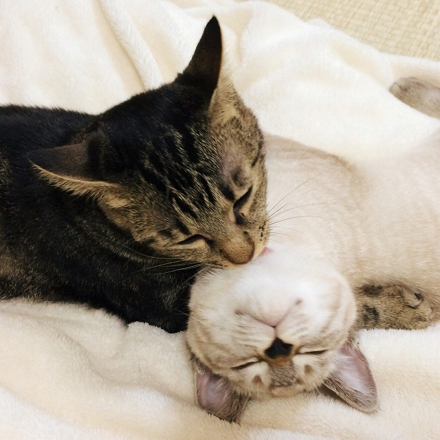 シャムトラ子猫をグルーミングしているキジトラ猫。