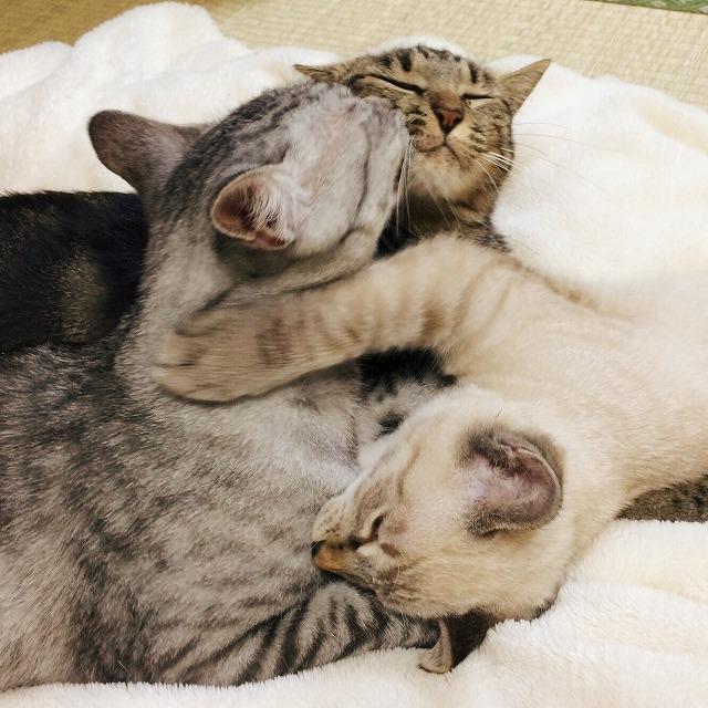 サバトラ猫、キジトラ猫、シャムトラ猫、仲良く?くっついてグルーミングし合っています。