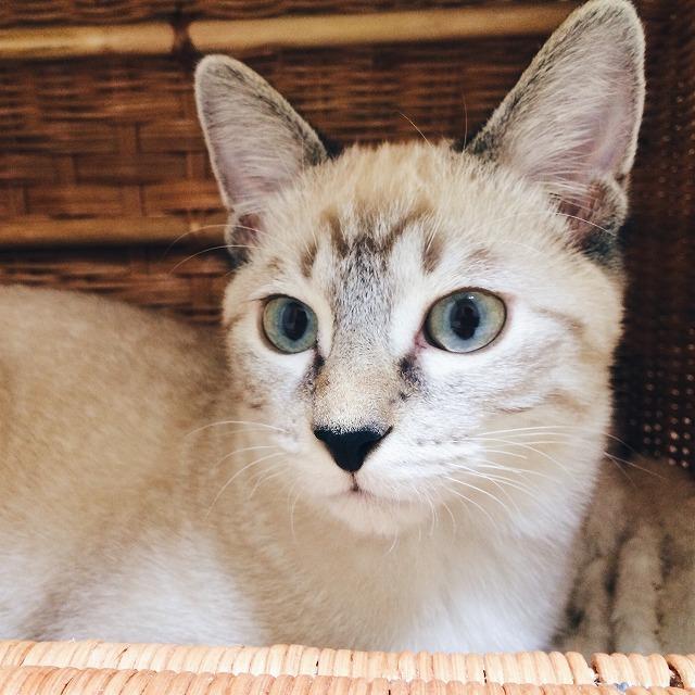 まだ顔が白かった頃のシャムトラ子猫。