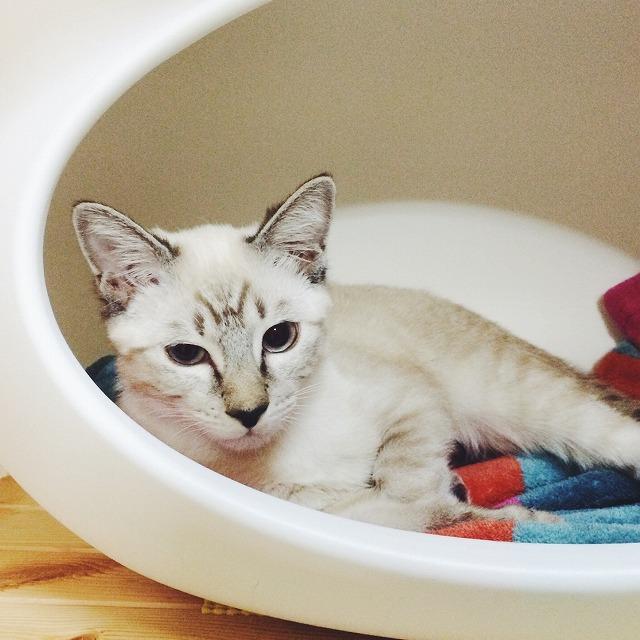 ねころんの中で寝そべっている眠そうな顔のシャムトラ子猫。