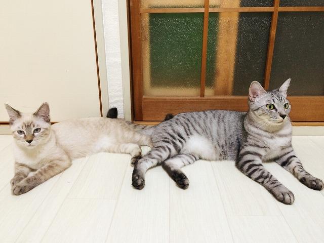 サバトラ・シャムトラ兄弟猫のシンクロシリーズその1。左右対称のスフィンクス。