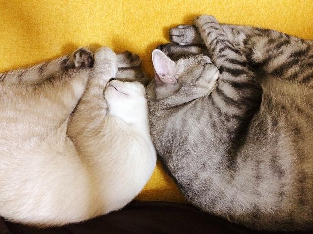 サバトラ・シャムトラ兄弟猫のシンクロシリーズその4。おそろいアンモニャイト。