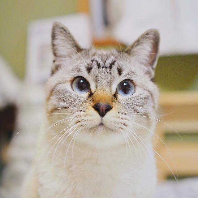 現在のシャムトラ猫は顔がまん丸。