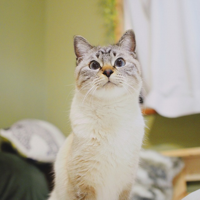 丸い青い目でこちらを見ているシャムトラ猫。