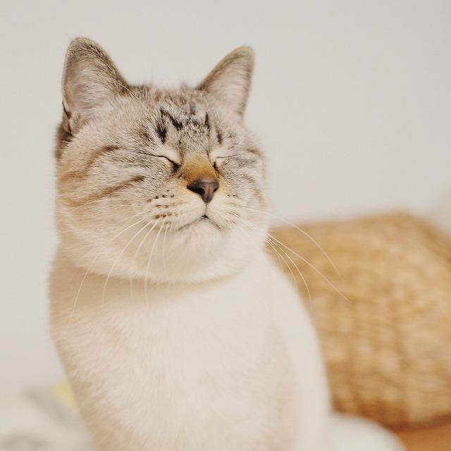 目をつむり、力士のような渋い顔をしているシャムトラ猫。