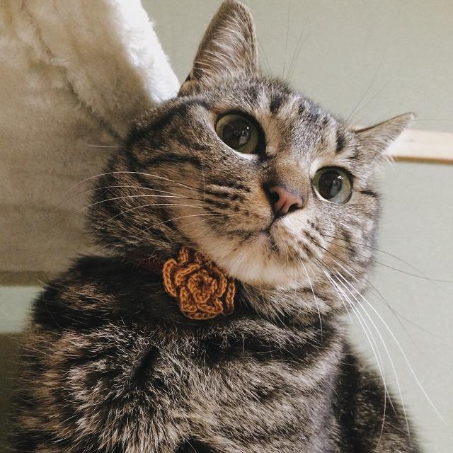 かぎ針編みで作った黄色い花のコサージュを首に付けているキジトラ猫。
